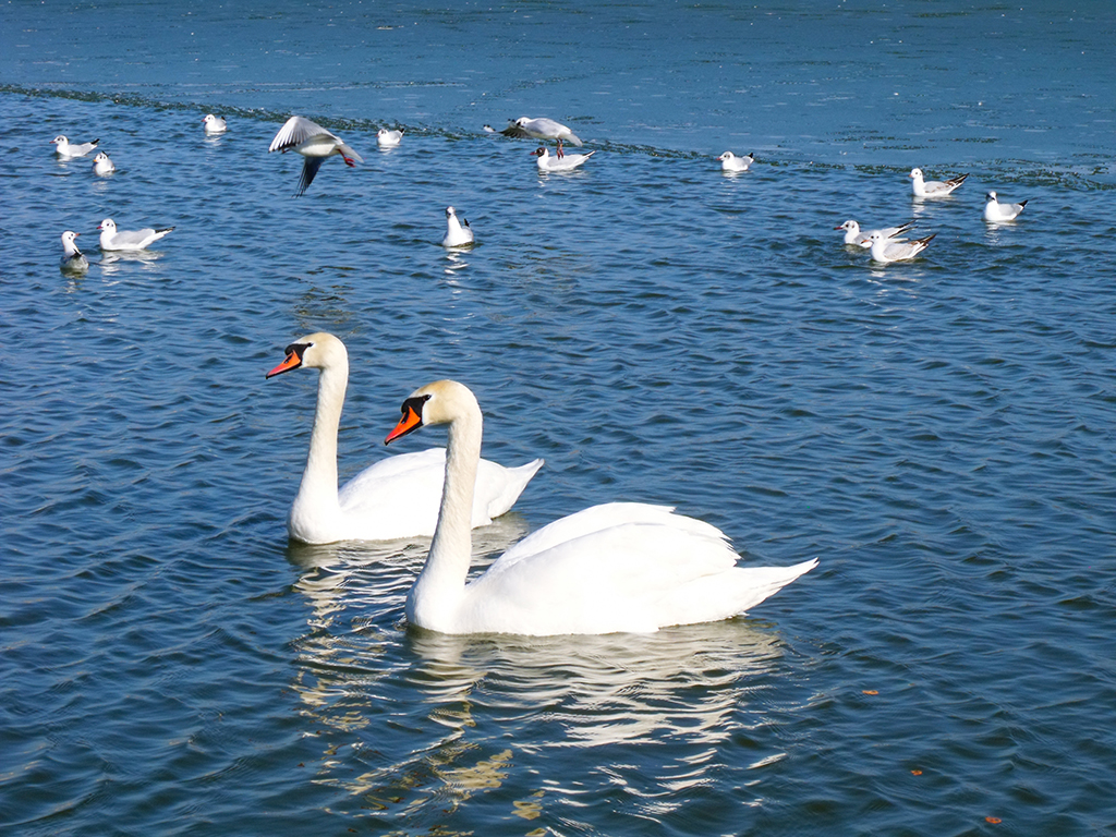 white swans lebede albe tabacarie lac lake constanta