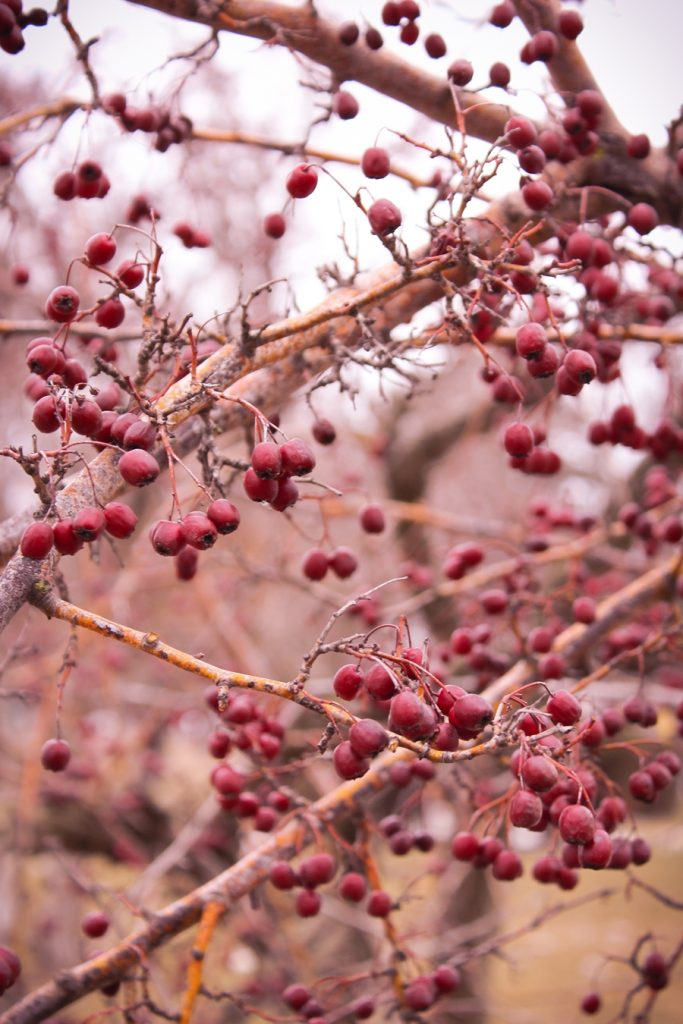 copac cu fructe rosii iarna