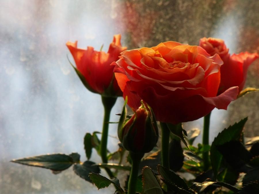 trandafiri la fereastra apus soare