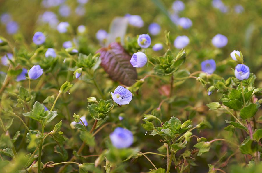 floricele albastre primavara close-up